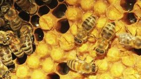 特写镜头观点的在蜂窝的蜂 股票录像