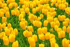 特写镜头观点的明亮的美丽的黄色郁金香 免版税库存图片