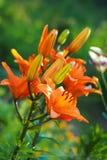 特写镜头观点的桔子百合在庭院里开花并且发芽反对被弄脏的绿色背景 库存照片