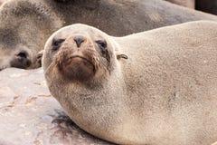 特写镜头观点的棕色海狗,海角发怒殖民地,最基本的海岸,纳米比亚,非洲 图库摄影