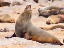 特写镜头观点的棕色海狗,海角发怒殖民地,最基本的海岸,纳米比亚,非洲 库存照片