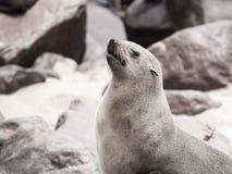 特写镜头观点的棕色海狗,海角发怒殖民地,最基本的海岸,纳米比亚,非洲 库存图片