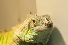 特写镜头观点的蜥蜴 库存图片