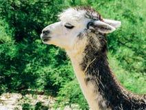 特写镜头观点的骆马在羊魄农场 免版税库存图片
