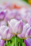 特写镜头观点的轻的淡紫色郁金香在春天 图库摄影