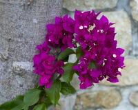 特写镜头观点的紫色女王/王后九重葛 免版税库存照片