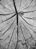 特写镜头详述击倒的树树桩在黑白的 免版税库存照片