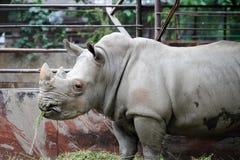 特写镜头详细资料眼睛犀牛动物园 免版税库存图片