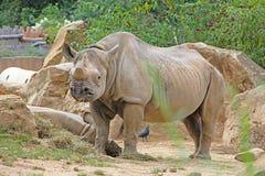 特写镜头详细资料眼睛犀牛动物园 库存图片