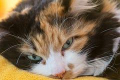 特写镜头画象猫 免版税图库摄影