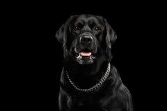 特写镜头画象黑色拉布拉多狗,机敏看,正面图,被隔绝 图库摄影