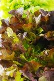 特写镜头赤栎莴苣 库存照片