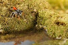 特写镜头跳跃的蜘蛛,叫作Philaeus chrysops,在水的立场在苔绿色 免版税库存照片