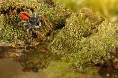 特写镜头跳跃的蜘蛛,叫作Philaeus chrysops,跑在苔绿色的水 库存图片