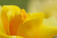 特写镜头软绵绵重点玫瑰黄色 库存照片