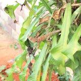 一只野生蜥蜴在泰国 免版税库存照片