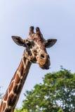 特写镜头长颈鹿在Dehiwala动物园里 库存图片