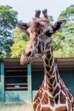 特写镜头长颈鹿在Dehiwala动物园里 库存照片