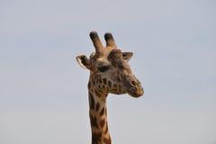 特写镜头长颈鹿 免版税图库摄影