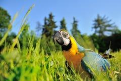 特写镜头青和黄色金刚鹦鹉-在草的Ara ararauna 免版税库存图片