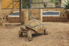 特写镜头非洲被激励的草龟(陡壁峡口蛇头草属sulcata) 免版税库存照片