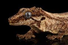 特写镜头面貌古怪的人壁虎, Rhacodactylus auriculatus凝视在黑背景 图库摄影
