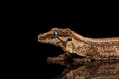 特写镜头面貌古怪的人壁虎, Rhacodactylus auriculatus凝视在黑背景 库存照片
