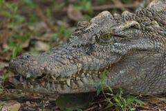 特写镜头顶头凯门鳄鳄鱼 库存照片
