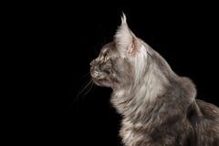 特写镜头顶头缅因树狸猫看起来好奇被隔绝的黑色,外形 库存图片