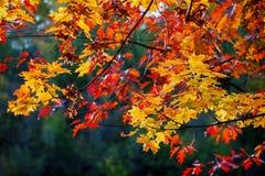 特写镜头风景在黑暗的背景的美好的生动的五颜六色的秋天槭树和橡木分支 秋天来了,真正 图库摄影
