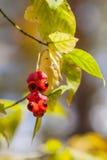 特写镜头风景美丽的生动的红色莓果,五颜六色的秋天颜色,秋天背景 秋天来了,真正的秀丽 免版税库存图片