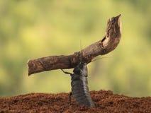 特写镜头马达加斯加蟑螂运载一个大分支 库存图片