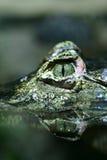特写镜头鳄鱼眼睛s 免版税图库摄影