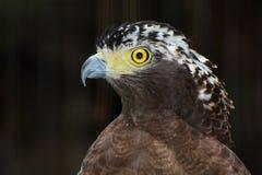特写镜头鸷一只有顶饰蛇老鹰的画象 库存照片