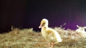 特写镜头,一只小黄色一鸭子沿干草和庸医去,光的 股票视频