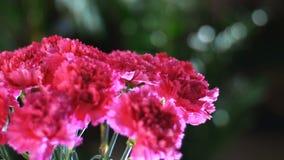 特写镜头,在光的花花束,自转,花卉构成包括明亮的桃红色土耳其语 影视素材