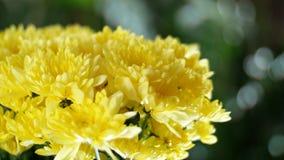 特写镜头,在光的花花束,自转,花卉构成包括黄色菊花 股票录像