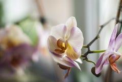 特写镜头,在窗口附近的桃红色花兰花植物兰花blured 免版税库存图片
