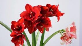 特写镜头,花,花束,在白色背景的自转,花卉构成包括白色的孤挺花,桃红色,法拉利 影视素材