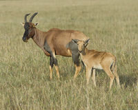 特写镜头sideview站立在与头的草的母亲遮阳帽和小牛提高了看往照相机 免版税库存照片