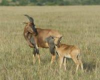 特写镜头sideview站立在与头的草的母亲遮阳帽和小牛提高了看往照相机 图库摄影