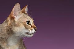 特写镜头Singapura猫在紫色的外形视图 库存照片