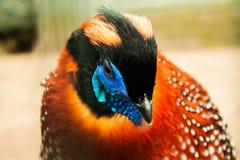 特写镜头Tragopan野鸡画象 库存图片