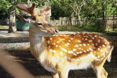 特别秀丽一头鹿在以自然为背景的一个动物园里 图库摄影