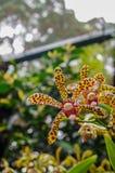 特别种类兰花在植物的Singapores 库存照片
