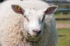 特塞尔绵羊 免版税库存照片
