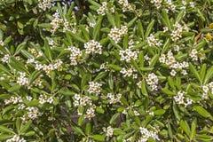 默特尔灌木和白花 免版税库存图片