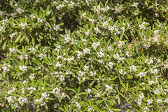 默特尔灌木和白花 免版税图库摄影