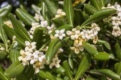 默特尔灌木和白花 库存图片