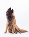 特尔菲伦小狗,六个月,坐 图库摄影